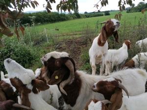 Ziegen auf der Weide