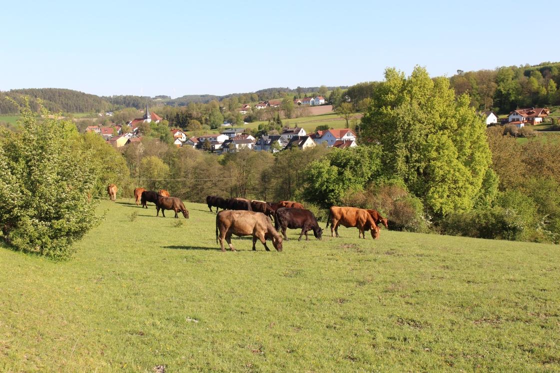 Angusrinder auf Weide